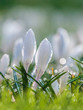 White spring crocus with water drops