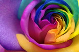 Fototapety Close up of rainbow rose heart