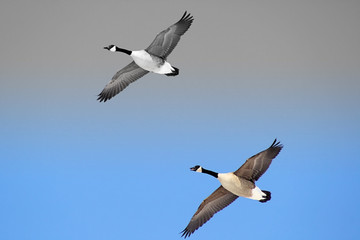 Pair Of Canada Geese Flying Free - 2 tone sky background