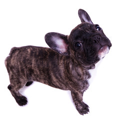 french bulldog stand - isolated on white