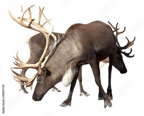 Two male reindeer