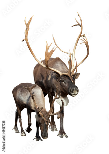 Two caribou over white background