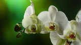 Orchiday flower blossom burgeon time lapse
