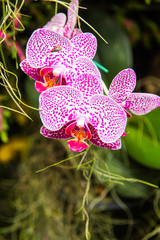 Orchid purple growing in the garden