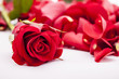 Red rose with rose petals