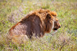 Young adult male lion on savanna. Safari in Serengeti, Africa