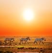Fototapeten,afrika,zebra,safarie,savanne
