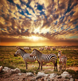 Fototapety Zebras herd on African savanna at sunset. Safari in Serengeti
