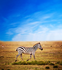 Zebra on African savanna. Safari in Serengeti