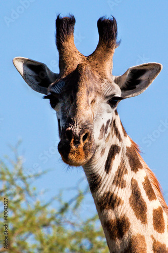 Fototapeta Giraffe portrait close-up. Safari in Serengeti, Tanzania, Africa