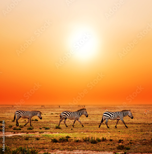 Fototapety, obrazy : Zebras herd on African savanna at sunset. Safari in Serengeti