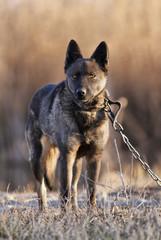 Lonely German Shepherd dog looking