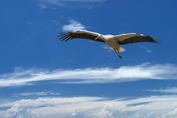 A ciconia stork in the deep blue sky