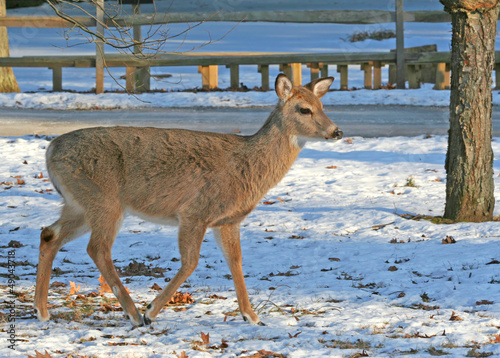 White-Tailed Deer walking on the snow