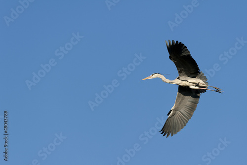 A blue black heron in the blue sky background