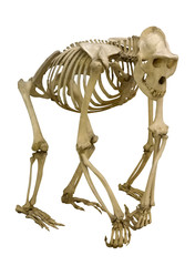 gorilla skeleton isolated on white