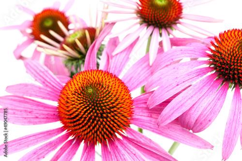 Sonnenhut (Echinacea purpurea) - Blütenfläche
