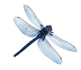 dragonfly isolated high quality