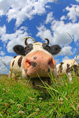 Happy swiss cow on green grass © soulline