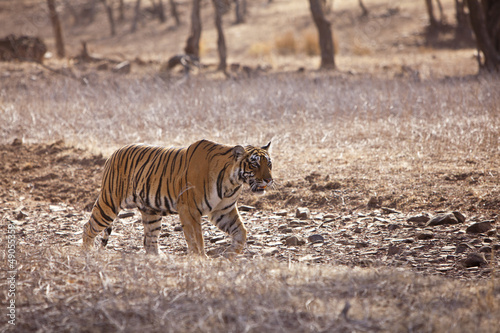 Side profile of a female tiger, Rajasthan.
