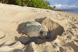 Turtle laying eggs on the beach. Borneo.