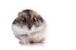 Gray hamster