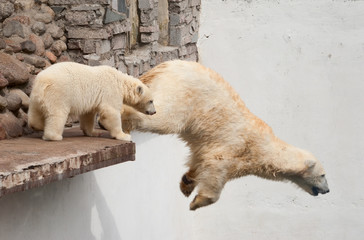 Polar bear (Ursus Maritimus) jumps off the ledge