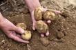 Kartoffeln auf dem Acker