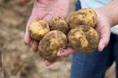 Kartoffeln in den Händen