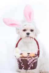 Bunny Maltese