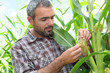 Farmer looking at sweetcorn in a field