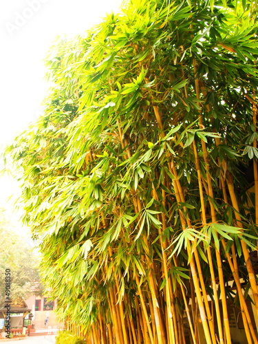 Foto op Canvas Bamboo Golden bamboo