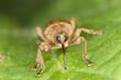 Hazelnut weevil Curculia nucum sitting on a leaf, extreme macro