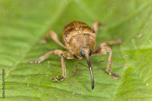 Hazelnut weevil Curculia nucum sitting on a leaf, extreme macro