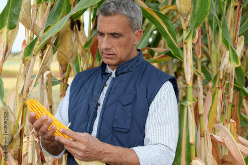 farmer watching a corncob in a cornfield