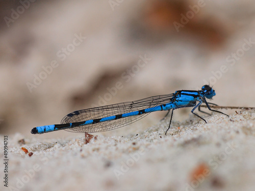 Closeup of blue dragonfly