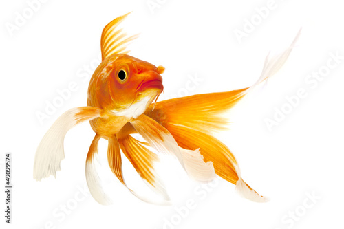 Golden Koi Fish