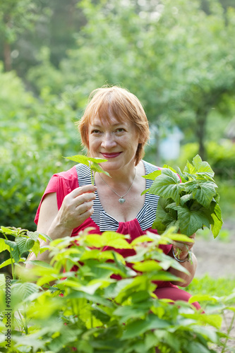 woman gathers raspberry leaves
