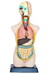 Models of internal organs.