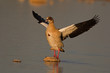 Egyptian goose with open wings; Alopochen aegyptiaca