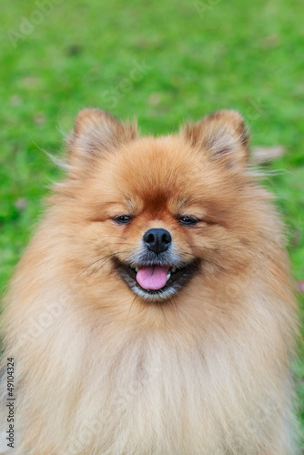 Pomeranian on green grass