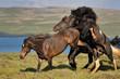 Icelandic horses quarreling.
