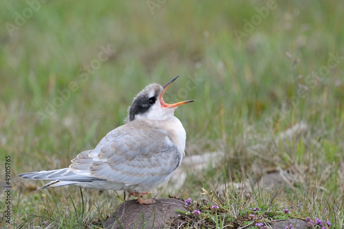 Juvenile Arctic Tern screaming for food.