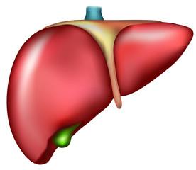 Liver, detailed anatomy, medical illustration