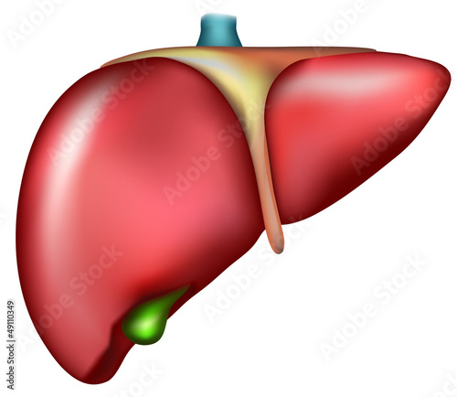 Liver, detailed anatomy, medical illustration