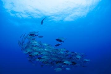 海底のギンガメアジの群れ
