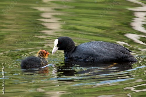 European coot feeding it's chicken on a lake
