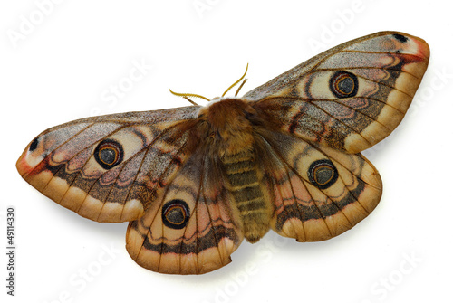silkmoth Saturnia pavoniella, female isolated on white