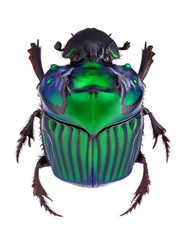 Dung beetle Oxysternon conspicillatum