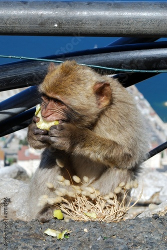 Barbary ape eating apple, Gibraltar © Arena Photo UK